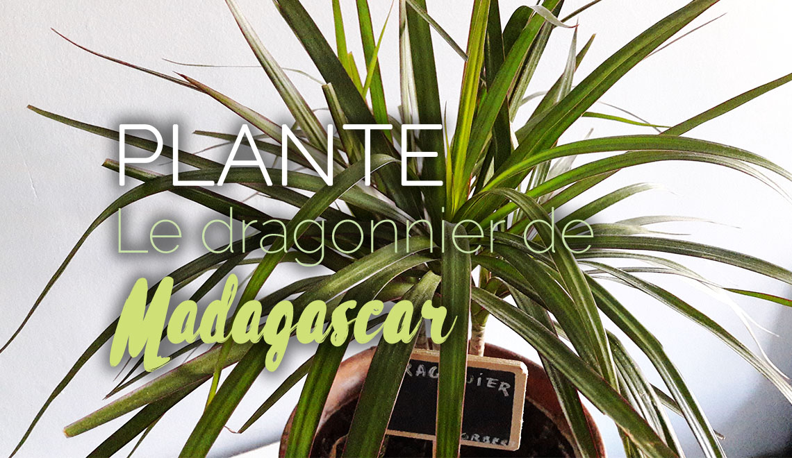 dragonnier de madagascar plante d polluante d 39 appartement mon petit balcon. Black Bedroom Furniture Sets. Home Design Ideas