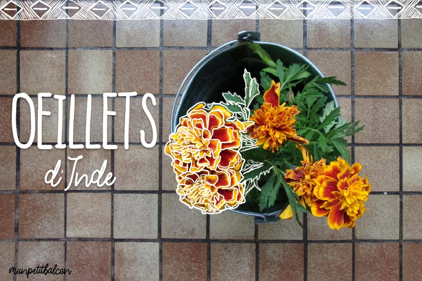 Recette fleurs comestibles et graines germ es mon petit - Semis oeillet d inde ...